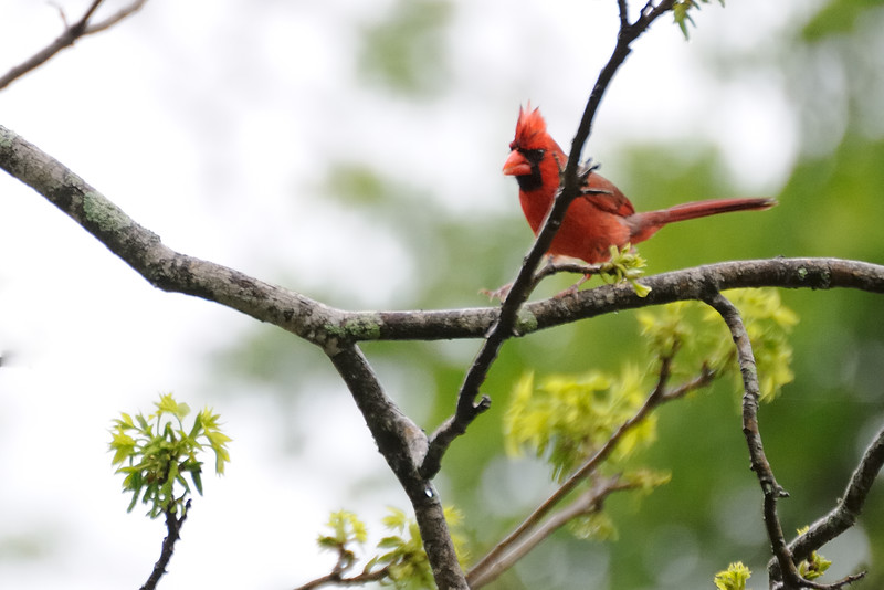 Of course, a Northern cardinal.  (Not a clear picture--my VR was turned off.)