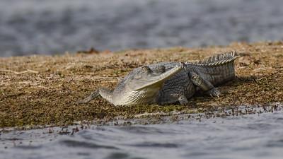Gharial Crocodiles