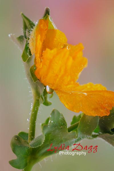 Waterdrops on Poppy, #4239
