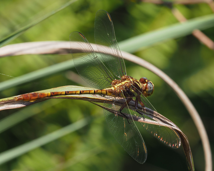 Two-striped Forceptail, male