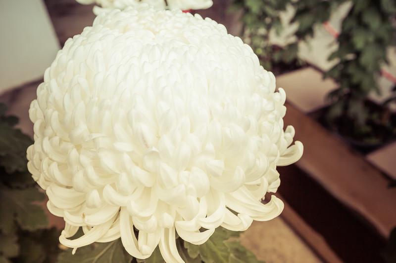 White Japanese Chrysanthemum