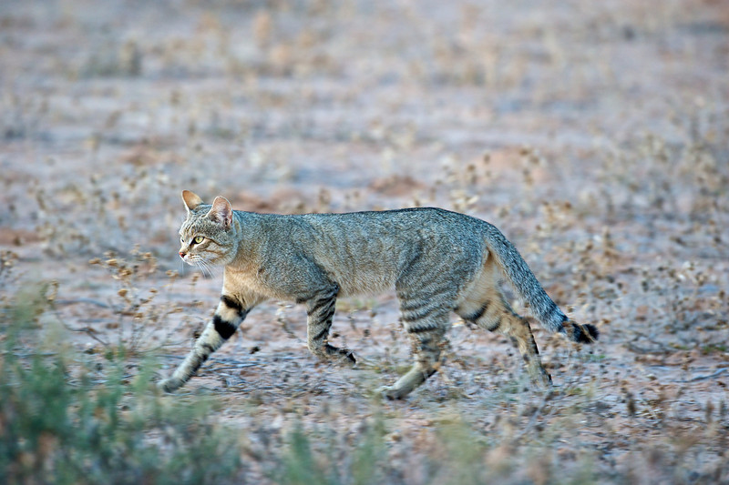 African wild cat, Kgaligadi Transfrontier Park, South Africa