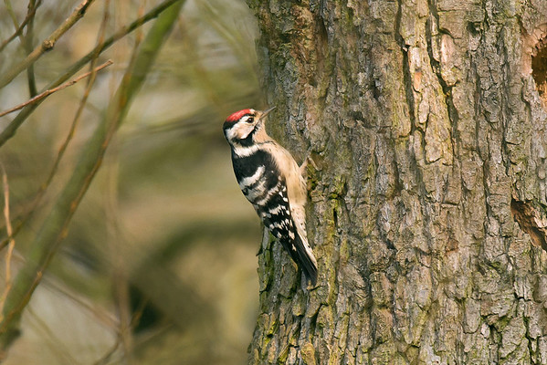 Bird Photos: Woodpeckers, Nuthatch and Treecreepers