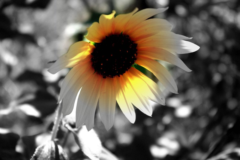 B&W Flower.jpg