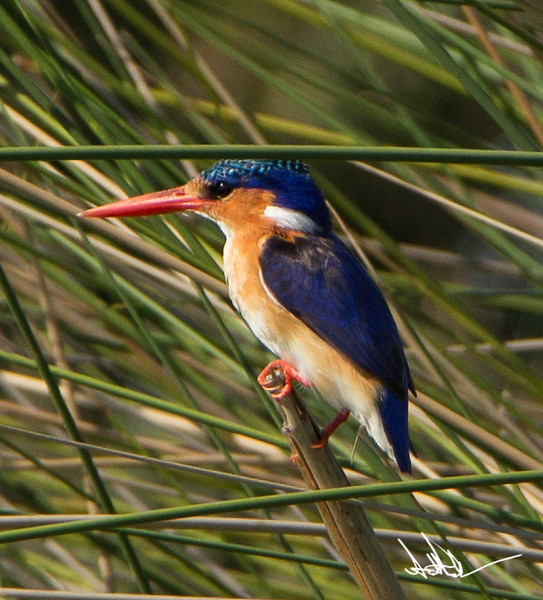 KingfisherS-1.jpg