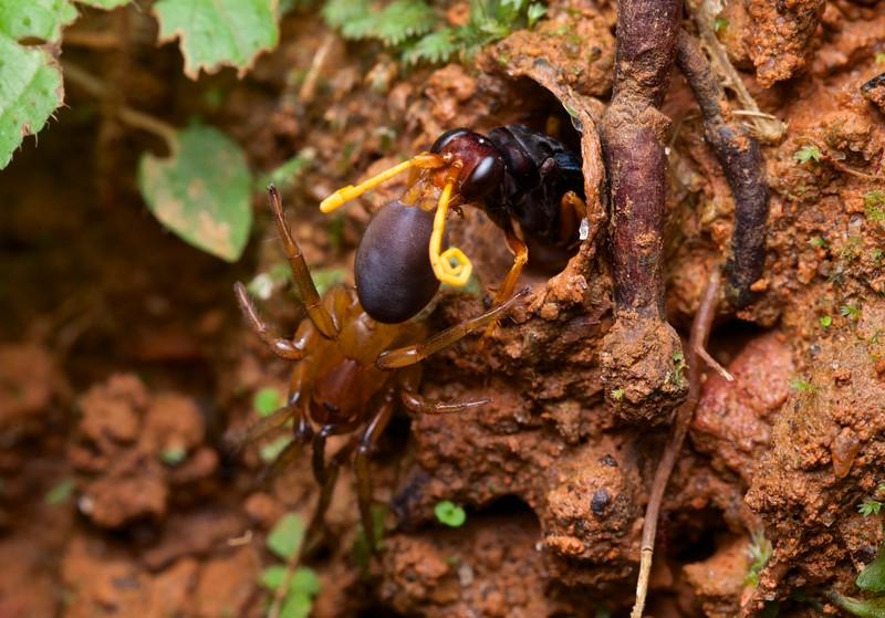 Tarantula hawk (Pompilidae) pulling prey into burrow