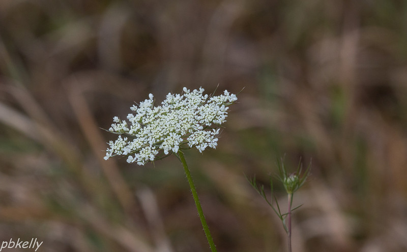 11-09.  This Queen Anne's Lace was blooming way out of season all by itself. It was confused.