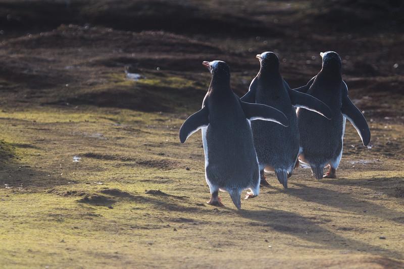 Gentoo penguins heading back to the colony, Sea Lion Island