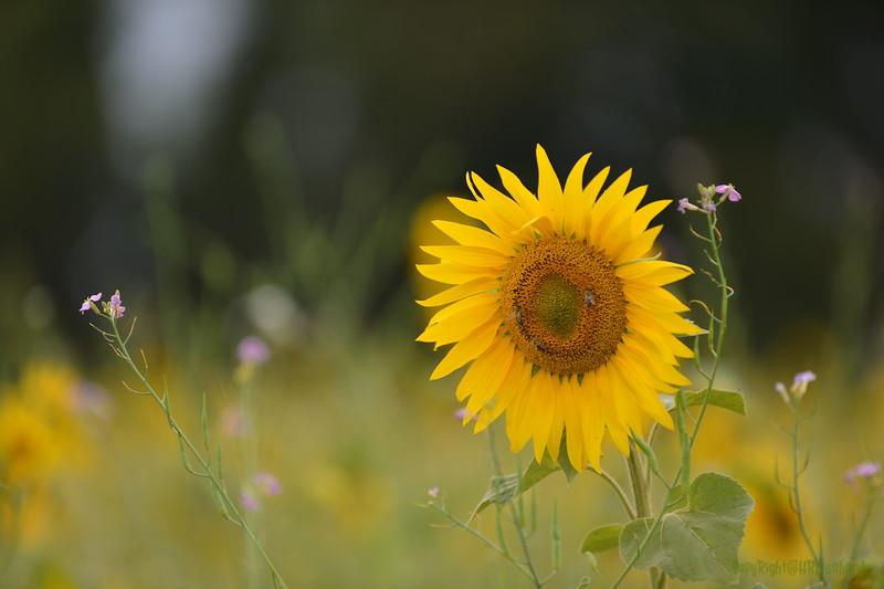 Sunflower Lonay_20092020 (38).JPG