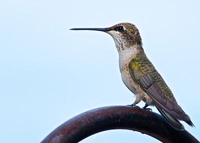 Hummingbirds, August 2015