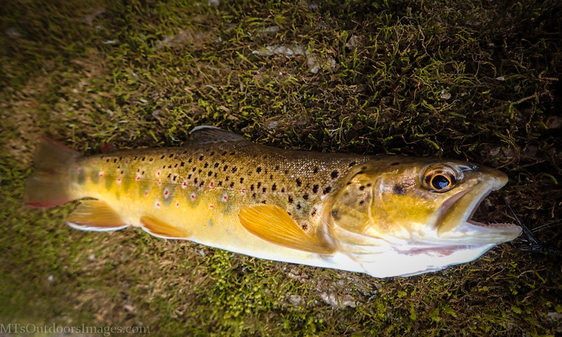 brown trout 7 (1 of 1).jpg