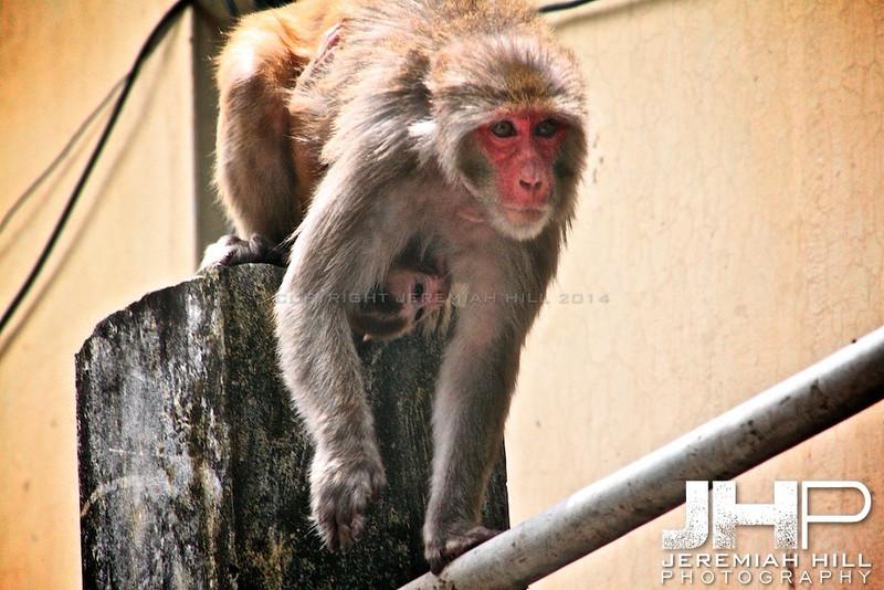 """Rishikesh Monkey Mom #2"", Rishikesh, Uttuaranchal, India, 2007 Print IND3628-034"