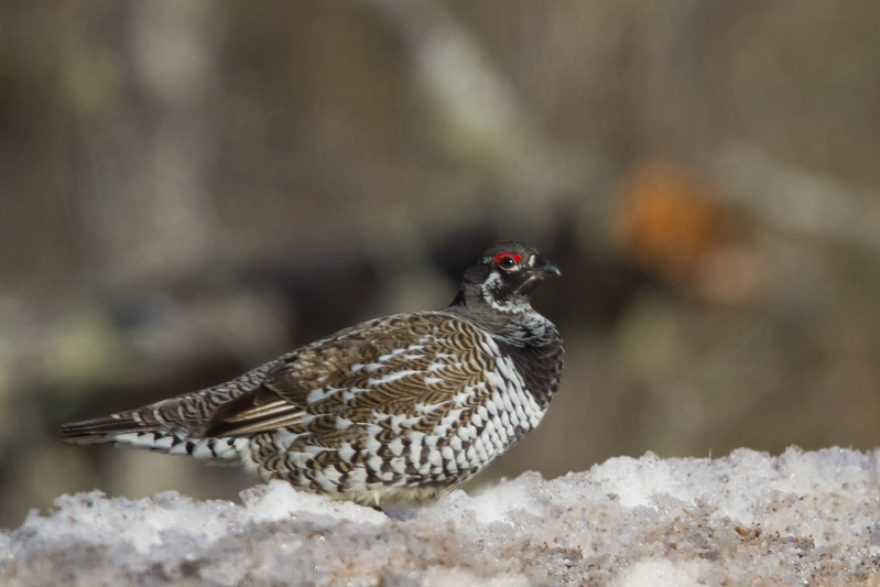 Spurce Grouse - Male - Hwy 2, Near Two Harbors, MN, USA