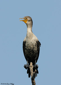 Double-creasted Cormorant, Phalacrocorax auritus