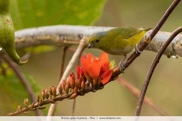 Bronze-green Euphonia