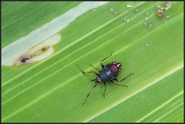 Rode halsbandwants/Red-spotted plant bug