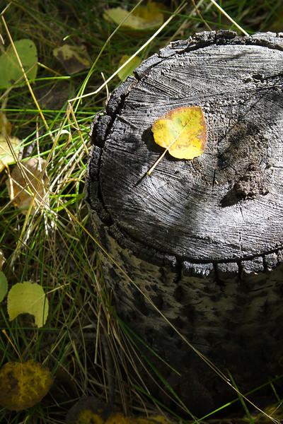 Leaf on Stump