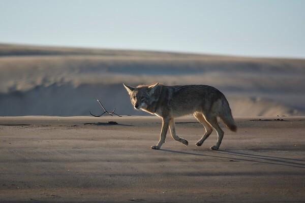 Coyotes of Magdalena Bay, Baja