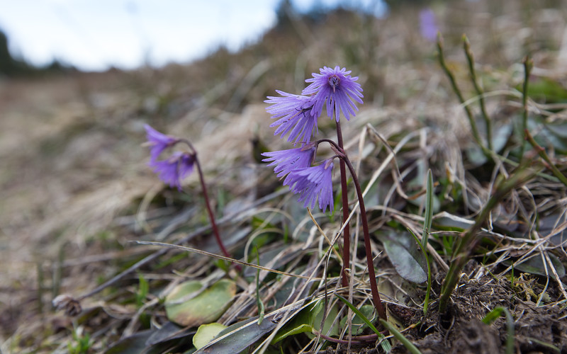 romeyer, soldanella alpina