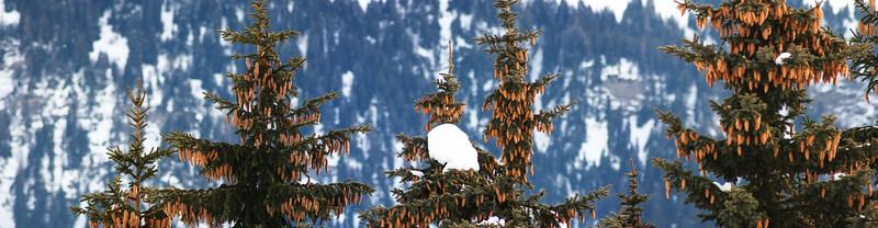 PINE TREES-2.jpg