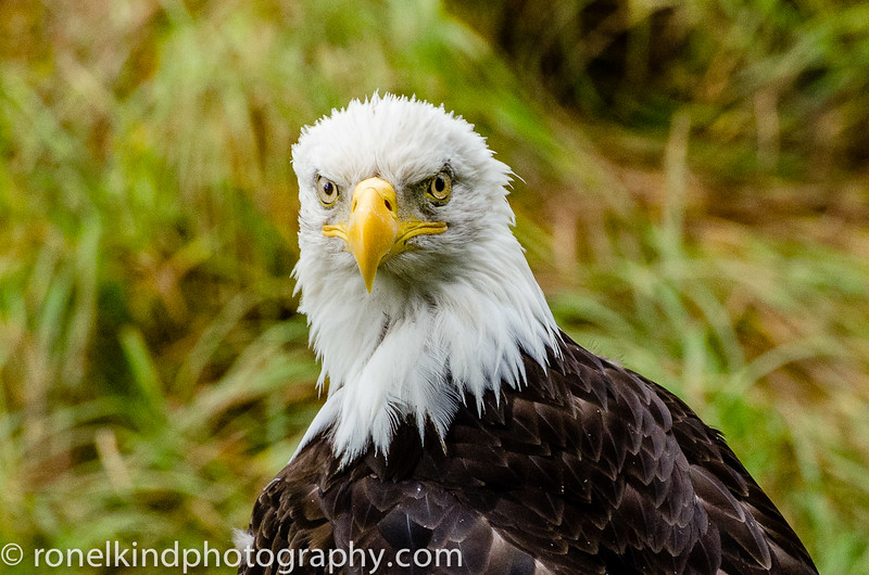 U.S. Offical Bird - The Bald Eagle.