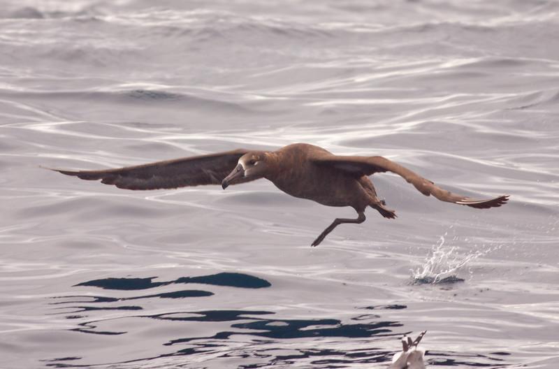 Black-Footed Albatross San Diego waters 2010 03 07-3.CR2