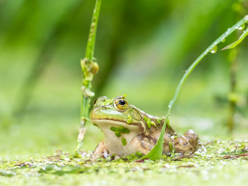 Northern Green Frog