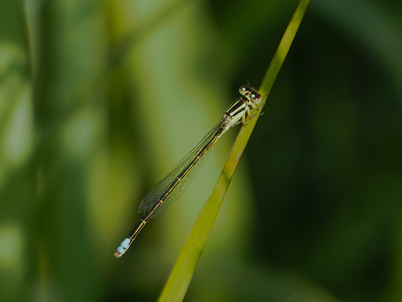 Eastern Forktail, male