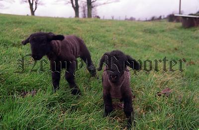 02w4N27 4_c farmgate Sheep