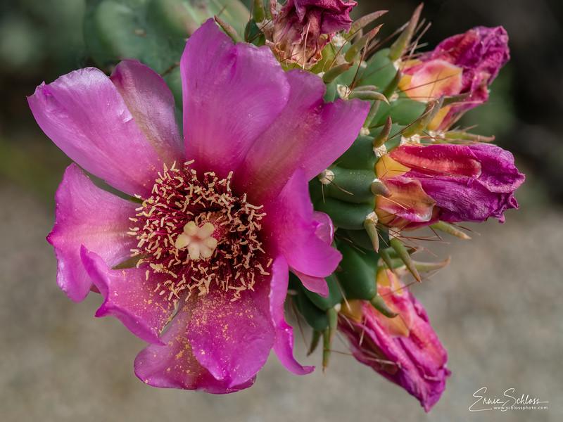 IR Cactus Flowers 2-1-2019m-.jpg