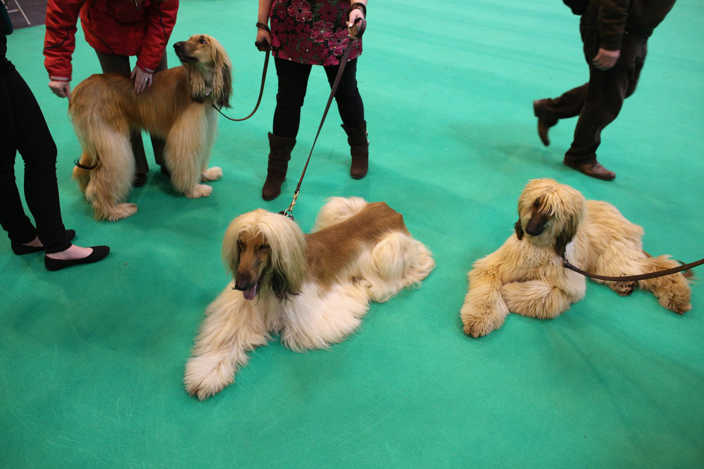 . BIRMINGHAM, ENGLAND - MARCH 07:  Afghan hounds relax after being shown on the first day of Crufts dog show at the NEC on March 7, 2013 in Birmingham, England. The four-day show features over 25,000 dogs, with competitors travelling from 41 countries to take part. Crufts, which was first held in1891, sees thousands of dogs vie for the coveted title of \'Best in Show\'.  (Photo by Oli Scarff/Getty Images)