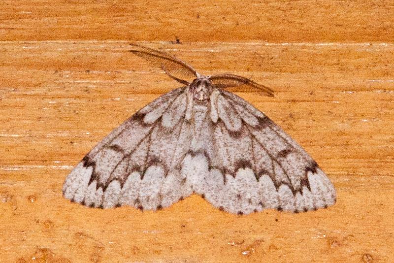 Looper - False Hemlock - (Nepytia canosaria) - Dunning Lake - Itasca County, MN