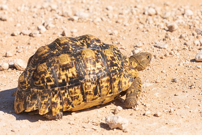 Leopard Tortise