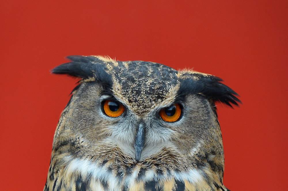 . A picture shows a European Eagle owl during the annual stocktake at ZSL London Zoo in central London on January 3, 2013. ZSL London Zoo embarked on January 3 on their annual complete head-count of every animal at the zoo, which houses over 17,000 animals. BEN STANSALL/AFP/Getty Images