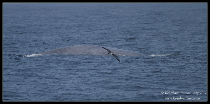 Blue Whale with a shearwater flying by, Whale Watching trip, San Diego County, California, September 2012