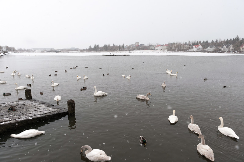 Tjörnin - The Pond