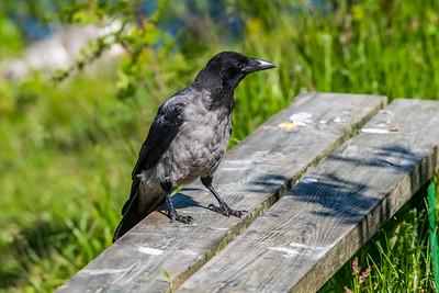 Carrion Crow [Corvus corone]