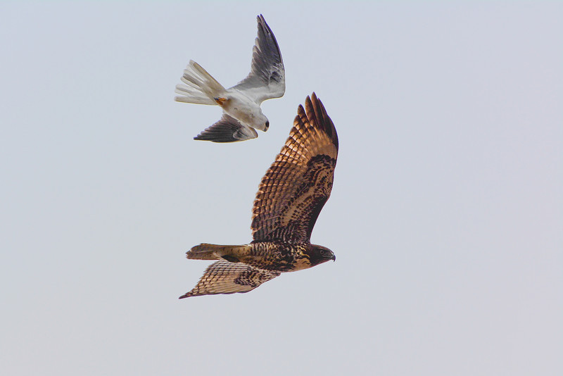 White-Tailed Kite and Red-Tailed Hawk