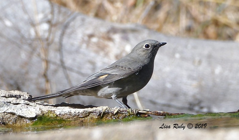 Townsend's Solitaire 11/16/2019 - Mt Laguna, Water Trough West Meadow