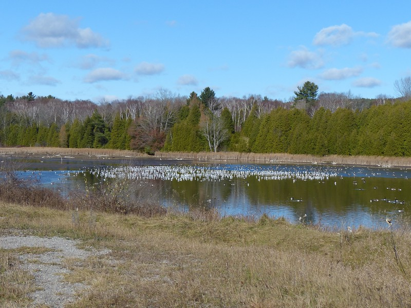 Ring-billed Gull and Canada Goose were the most abundant birds at Garden Hill pond