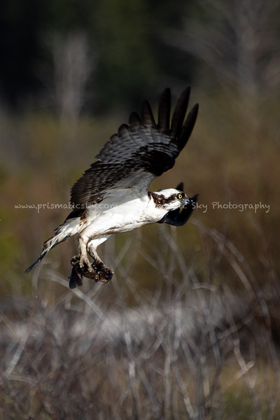 Osprey with a catfish