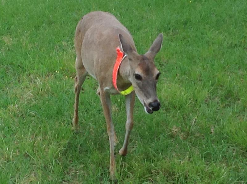 pet deer LK.JPG