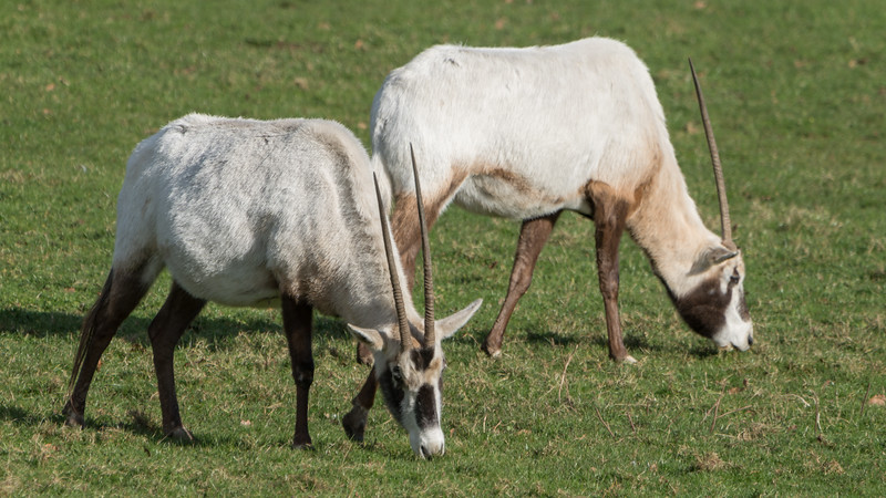 Animals, Arabian Oryx, Marwell Zoo @ Marwell Zoo, City of Winchester,England - 04/02/2018