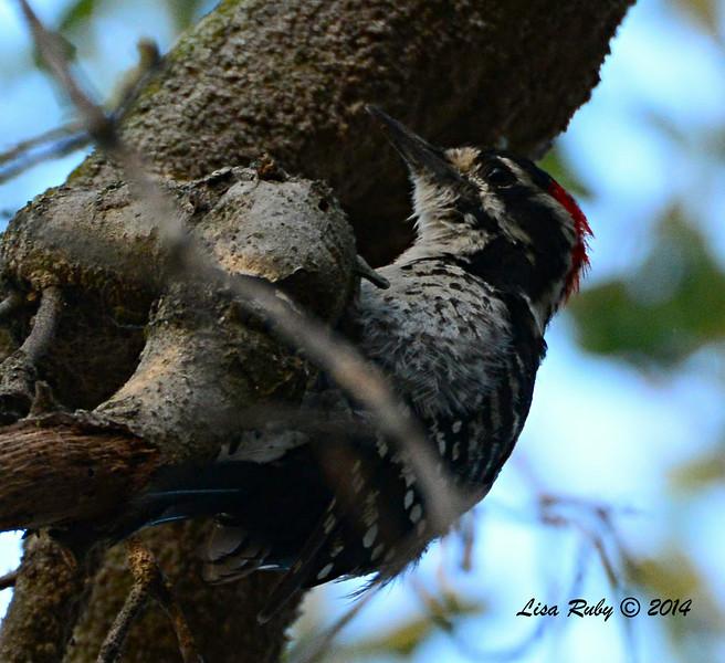 Nuttall's Woodpecker - 7/20/2014 - Penasquitos Canyon, Black Mtn start