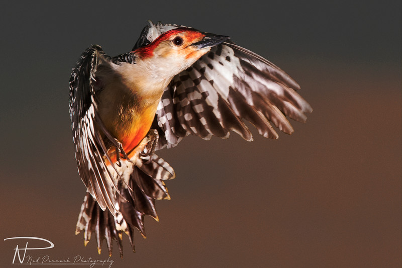 Red Bellied Woodpecker in Flight.jpg
