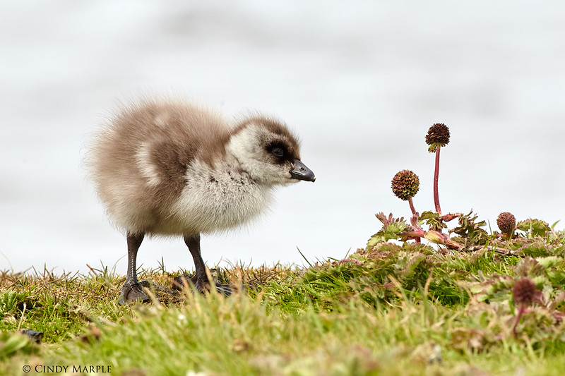 Patagonian Crested Duck duckling