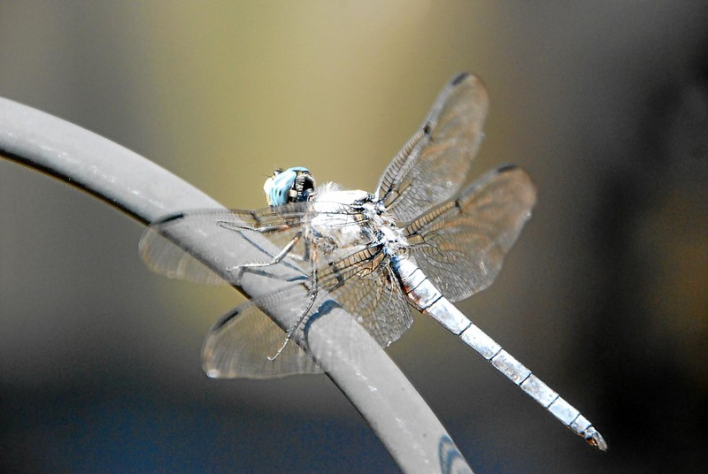 Dragon_fly_03.jpg