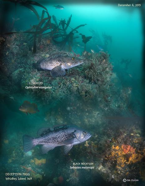 12.6.19 Lingcod, Black rockfish  .jpg