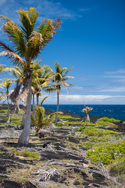 Hawaii Palms 2