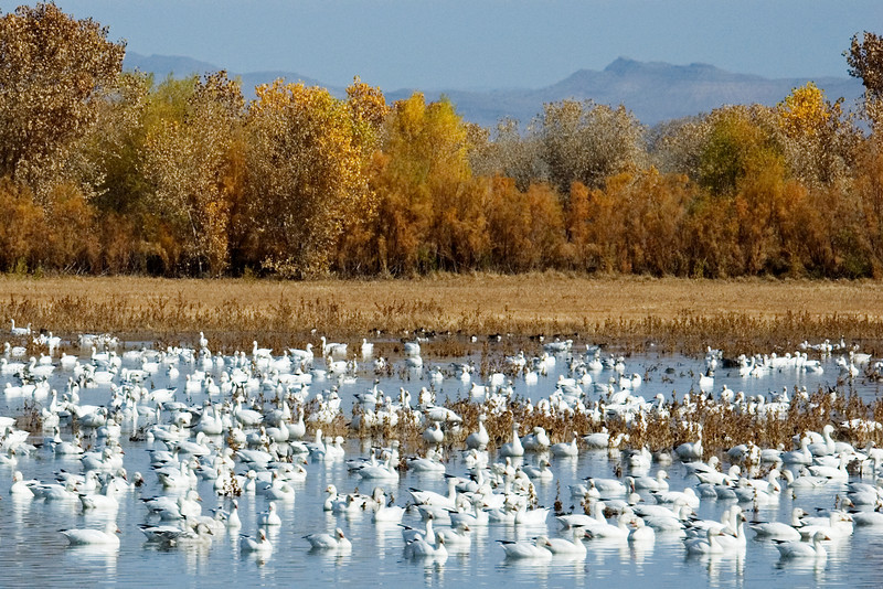 Goose - Snow - Bosque Del Apache NWR - NM - 02